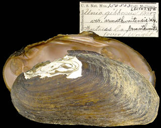 To NMNH Extant Collection (IZ MOL Unio gibbosus armathwaitensis Lectotype)