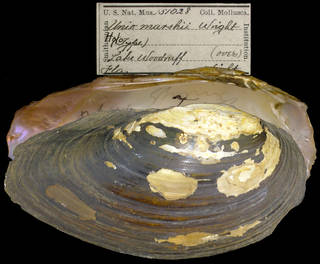 To NMNH Extant Collection (IZ MOL 151028 Unio marshii Holotype)