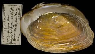 To NMNH Extant Collection (IZ MOL 152060 Unio polymorphus Lectotype)