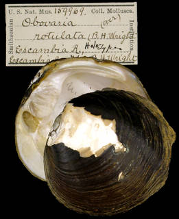 To NMNH Extant Collection (IZ MOL 159969 Unio rotulatus Holotype)