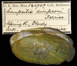 To NMNH Extant Collection (IZ MOL 160709 Lampsilis simpsoni Holotype)
