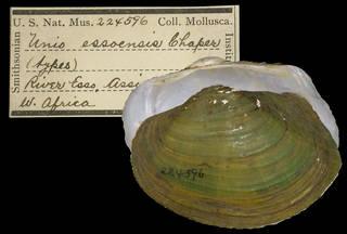 To NMNH Extant Collection (IZ MOL 224596 Unio essoensis Type)