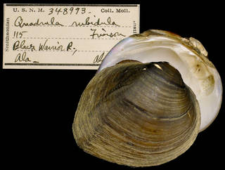 To NMNH Extant Collection (IZ MOL 348993 Quadrula rubidula Holotype)