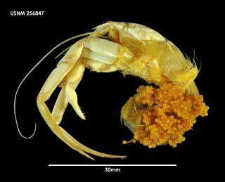 To NMNH Extant Collection (Parapagurus latimanus 256847)