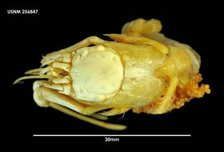 To NMNH Extant Collection (Parapagurus latimanus (1) 256847)