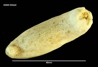 To NMNH Extant Collection (Psolidium koehleri E33664)