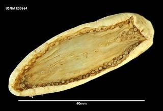 To NMNH Extant Collection (Psolidium koehleri (1) E33664)