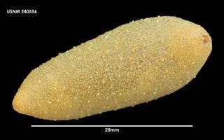 To NMNH Extant Collection (Psolidium gaini E40556)