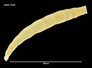 To NMNH Extant Collection (Melicerita obliqua 17565)