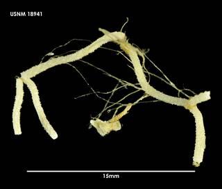 To NMNH Extant Collection (Paracellaria elephantina 18941)