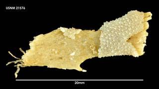 To NMNH Extant Collection (Schizoporella sp 21576)