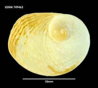 To NMNH Extant Collection (Crepidula monoxyla 749463)