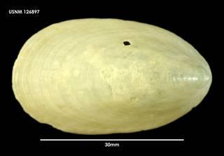 To NMNH Extant Collection (Nacella mytilina 126897)