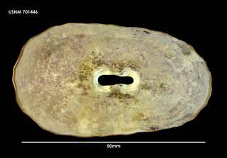 To NMNH Extant Collection (Fissurella crassa 701446)
