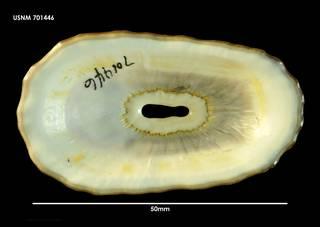 To NMNH Extant Collection (Fissurella crassa (1) 701446)