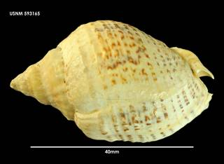 To NMNH Extant Collection (Cominella adspersa 593165)
