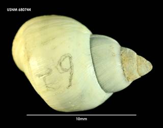 To NMNH Extant Collection (Nodilittorina fernandezensis 680744)