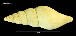 To NMNH Extant Collection (Leucosyrinx falklandica 898740)