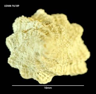 To NMNH Extant Collection (Fuegotrophon pallidus (3) 96189)