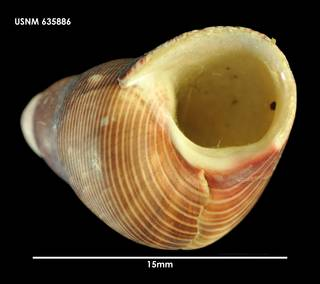 To NMNH Extant Collection (Cantharidus Plumbelenchus capillaceus (3) 635886)