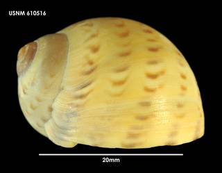 To NMNH Extant Collection (Tanea zelandica, lateral view 610516)