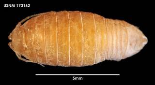 To NMNH Extant Collection (Heterophryxus elongatus (1) 173162)