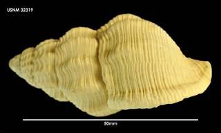 To NMNH Extant Collection (Argobuccinum Priene scabrum (2) 32319)
