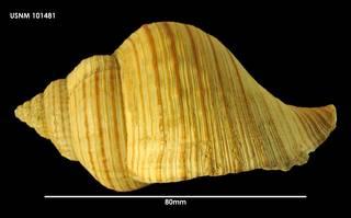 To NMNH Extant Collection (Argobuccinum tumidum (2) 101481)