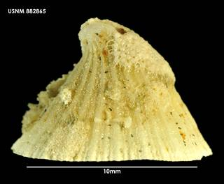 To NMNH Extant Collection (Puncturella noachina (1) 882865)