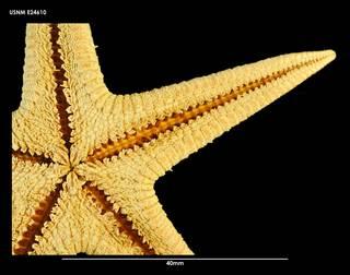 To NMNH Extant Collection (Bathybiaster herwigi (2) E24610)
