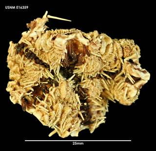 To NMNH Extant Collection (Luidia neozelanica (2) E16359)