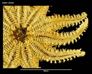 To NMNH Extant Collection (Crossaster campbellicus (2) 1122950)