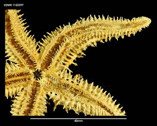 To NMNH Extant Collection (Sclerasterias mollis (2) 1122397)