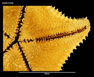 To NMNH Extant Collection (Hippasteria trojana E13768)