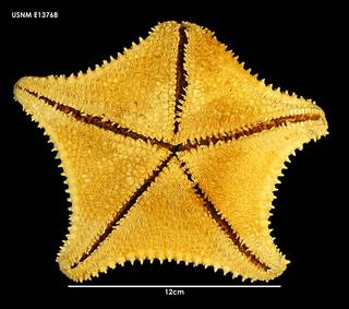 To NMNH Extant Collection (Hippasteria trojana (1) E13768)