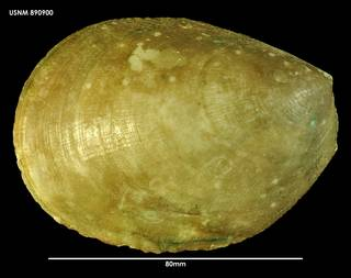 To NMNH Extant Collection (Acesta saginata 890900)