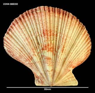 To NMNH Extant Collection (Mesopeplum convexum 888350)