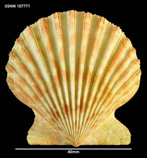 To NMNH Extant Collection (Aequipecten tehuelcus, dorsal view)