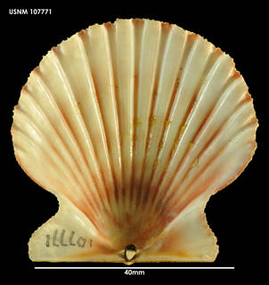 To NMNH Extant Collection (Aequipecten tehuelcus, ventral view)