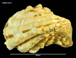 To NMNH Extant Collection (Cardita aoteana, dorsal view 610611)