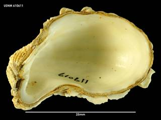 To NMNH Extant Collection (Cardita aoteana, ventral view 610611)
