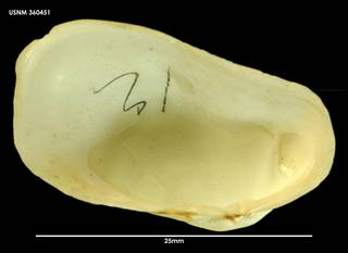To NMNH Extant Collection (Hiatella arctica (1) 360451)