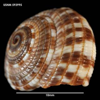To NMNH Extant Collection (Heliacus variegatus, lateral view 593995)