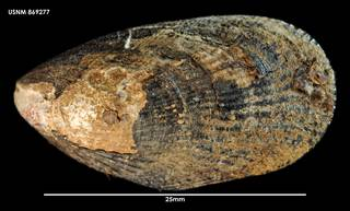 To NMNH Extant Collection (Perumytilus purpuratus, dorsal view 869277)