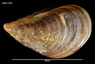 To NMNH Extant Collection (Perna canaliculus 17965)