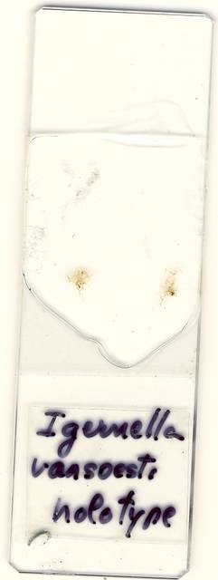 To NMNH Extant Collection (USNM 1128569 Igernella vansoesti)