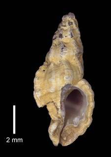 To NMNH Extant Collection (IZ MOL 869514 Shell)