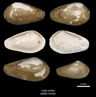 To NMNH Extant Collection (IZ MOL 181821 Leda amblia Syntype)