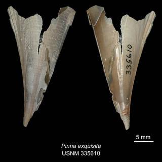 To NMNH Extant Collection (IZ MOL 335610 Pinna exquisita Holotype)