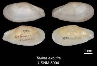 To NMNH Extant Collection (IZ MOL 5904 Tellina exculta Holotype)